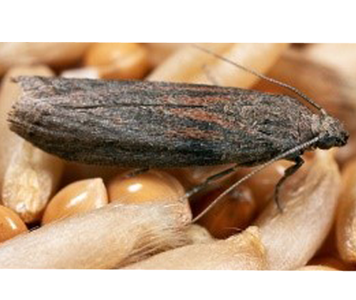 Ephestia Cautella Warehouse Almond Moth Russell Ipm Spi